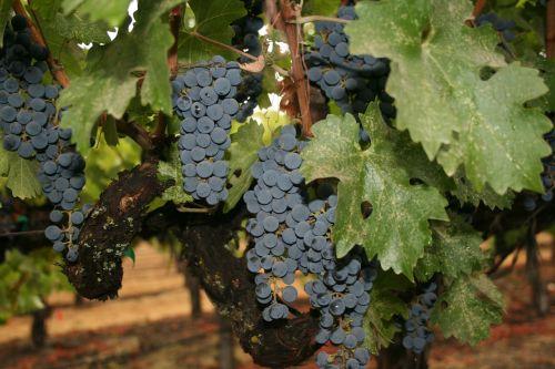 napa valley wine grapes