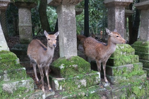 nara  small deer  kasuga taisha shrine