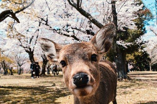 nara  japan  spring