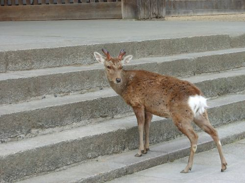 nara deer in return
