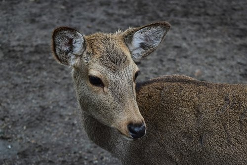 nara deer park  nara  japan