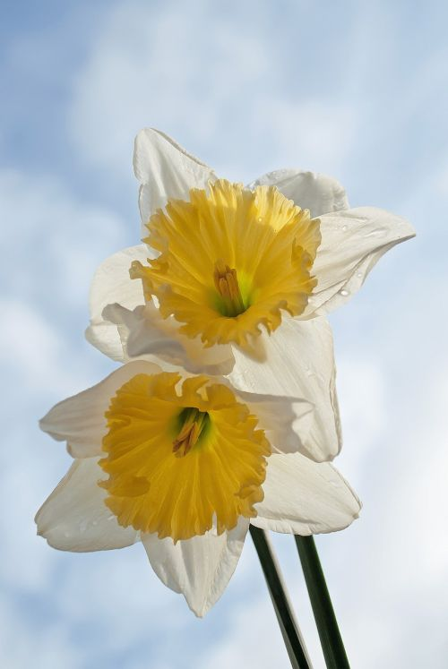 narcis spring yellow