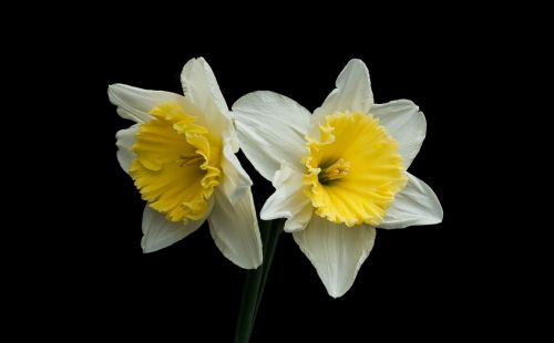 narcis spring nature