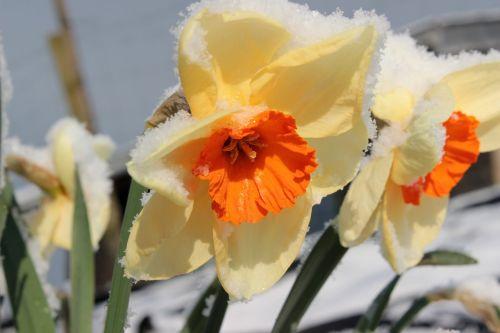 narcissus blossom bloom