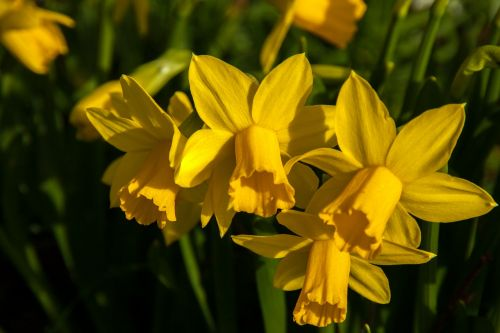 narcissus daffodil easter