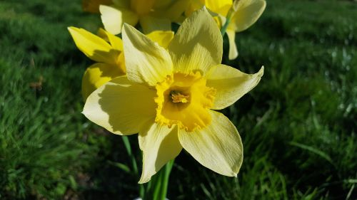 narcissus daffodil narcissus flower