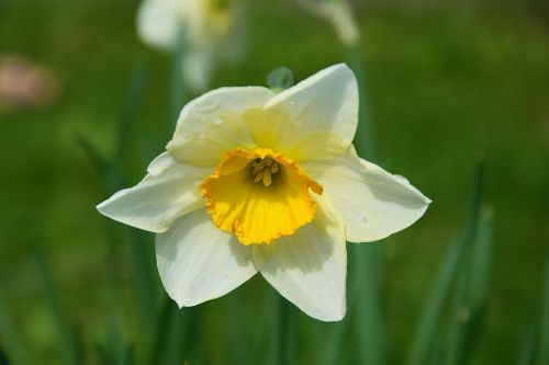 narcissus flower spring