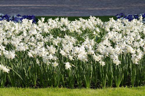 narcissus white cream