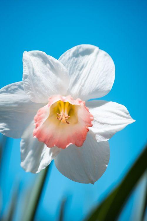 narcissus flower spring