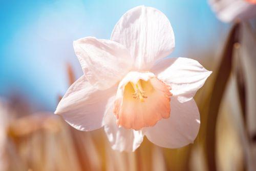 narcizas,balta,baltas narcizas,gėlė,balta gėlė,žiedas,žydėti,baltas žiedas,sodas,Sode,daffodil,pavasario gėlė,pavasaris,Velykų laikas,fonas,gėlių fonas,gamta,žiedlapiai,pistil,flora,Uždaryti,gėlių fotografija,dangus