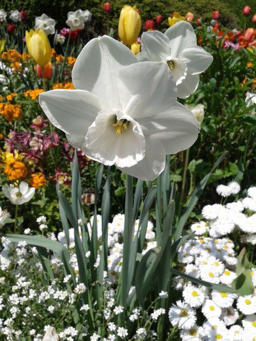 narcissus white blossom
