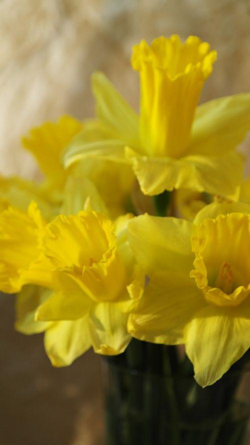 narcissus flower nature