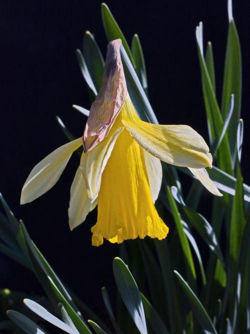 narcizas, gamta, augalas, gėlė, žiedas, žydėti, daffodil, ankstyvas bloomer, be honoraro mokesčio