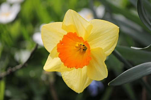 narcissus  yellow  daffodil