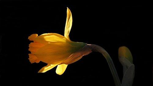 narcissus  daffodil  nature