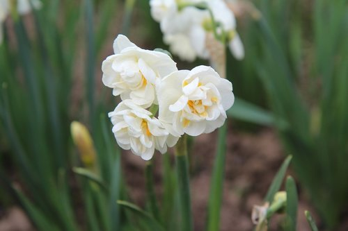 narcissus  narcissus white  narcissus double