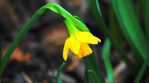 narcissus  early bloomer  flower