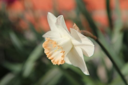 narcissus  bulbs  spring