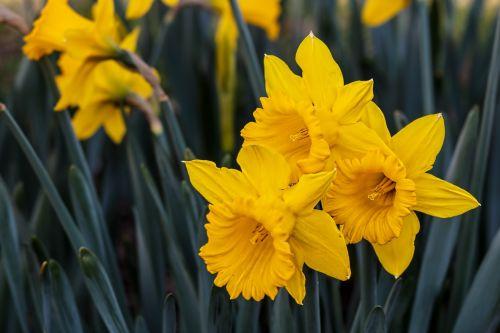 narcizas,daffodil,bulviniai daugiamečiai augalai,geltona,gėlė,pavasaris,sodas,augalas,vasara,žydėjimo lemputė,kraštovaizdis