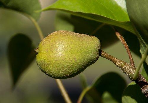 nashi pear  asian pear  pyrus pyrifolia