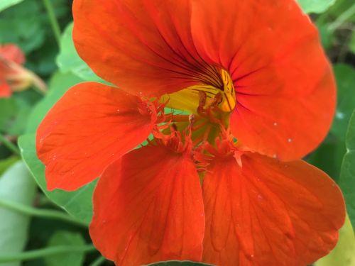 nasturtium tropaeolum edible