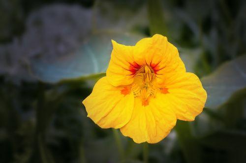 nasturtium cress blossom