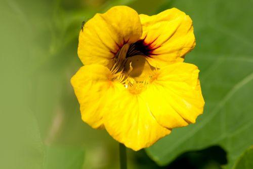 nasturtium tropaeolum calyx