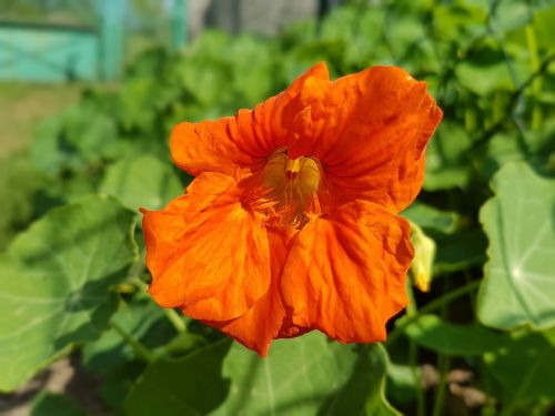nasturtium flowers summer