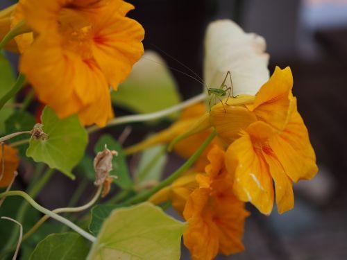 nasturtium grasshopper insect