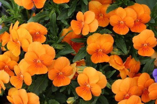 nasturtium flowers carbine greenhouse
