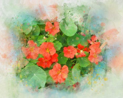 nasturtium flower watercolor
