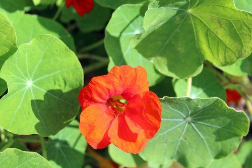 nasturtium tropaeolum a flower garden