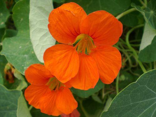 nasturtium calyx nasturtium family