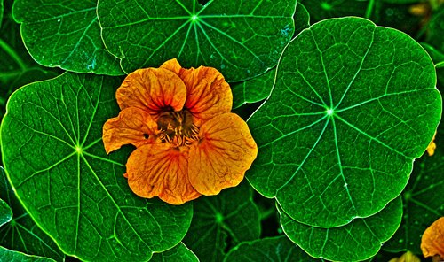 nasturtium  blossom  bloom