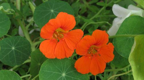 nasturtium orange tropaeolum
