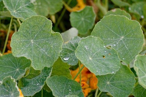 nasturtium  nasturtiums  foliage