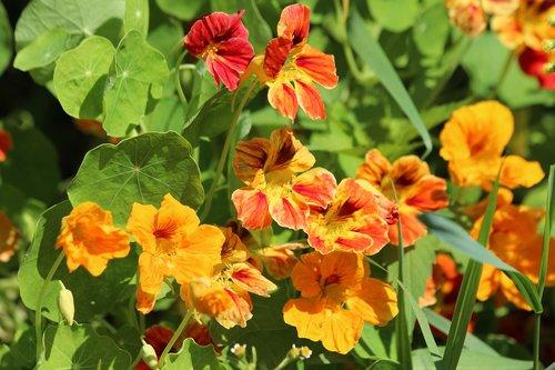 nasturtium  tropaeolum  flowers