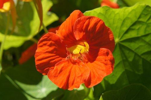nasturtium  summer  garden