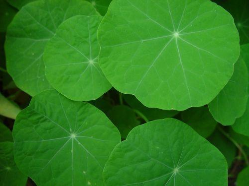 nasturtium leaves leaf