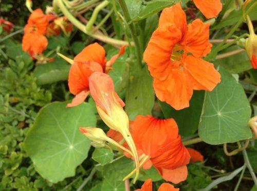 nasturtium spring orange