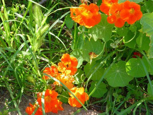 nasturtium plant grass