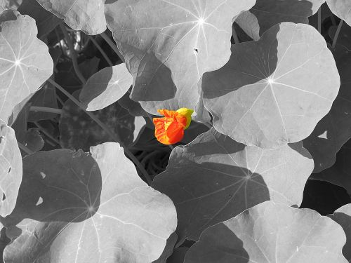 nasturtium flower red
