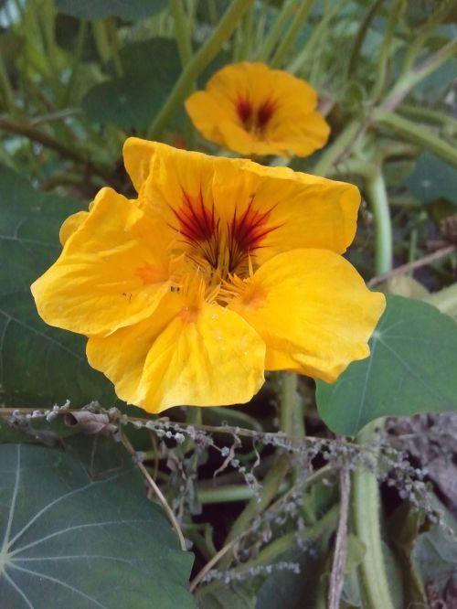 nasturtium orange green