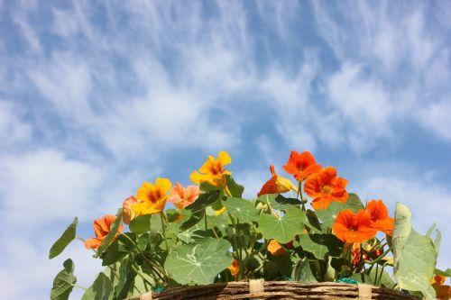 nasturtium flower sky