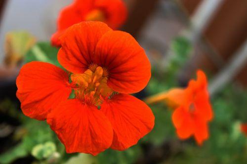 nasturtium,gėlė,žydėti,gyvas,žiedlapis,oranžinė,gėlių,makro,žydi,valgomieji,žydėjimas,šviesus,spalvinga,žiedadulkės,sodas,augalas,pavasaris,šviežias