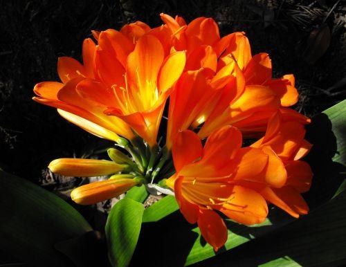 natal lily flower blossom