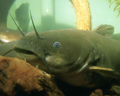 natalis ameiurus underwater
