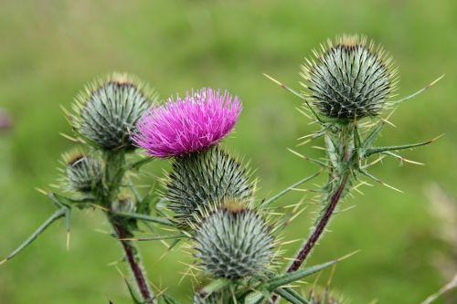 national flower scotland flower