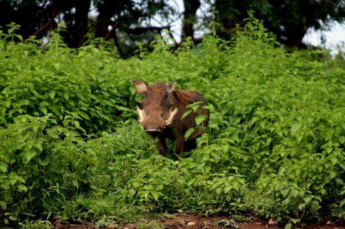 Nacionalinis parkas,Molo nacionalinis parkas,turizmo gana,safari,gamta