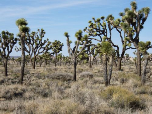 national park,joshua-tree,desert